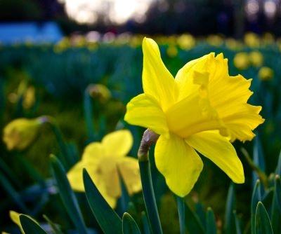 22 March Daffodils Day